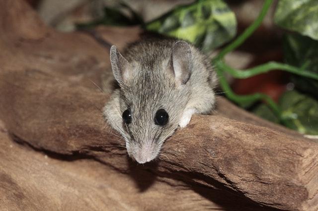 Comprendre la reproduction de souris